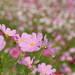 秋の花の代表コスモス!コスモスの写真を撮りに行こう♪