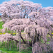 日本三大桜・五大桜って知ってる?一生に一度はお花見したい桜の名所