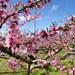 まるでピンクの絨毯!山梨県の桃源郷で今年は一味違ったお花見♪
