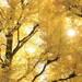 この時期だけの黄色い絶景!東京・横浜のイチョウが見られるスポット