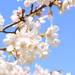 桜満開の前に要チェック!桜写真どうやって撮る?カメラ女子おすすめの撮り方