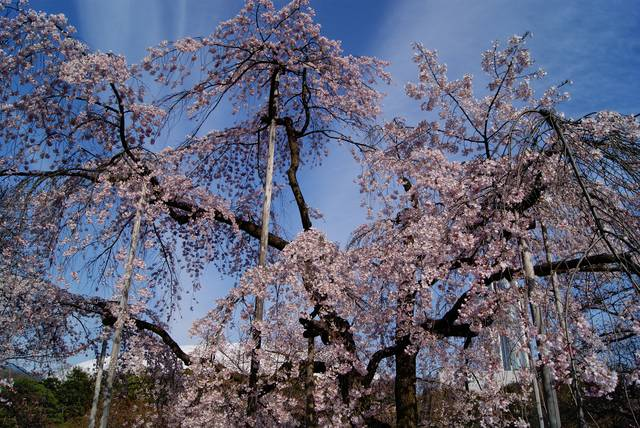 入口すぐのしだれ桜