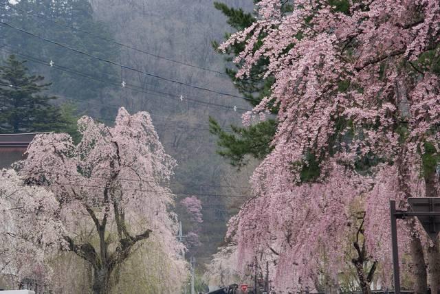 武家屋敷のしだれ桜