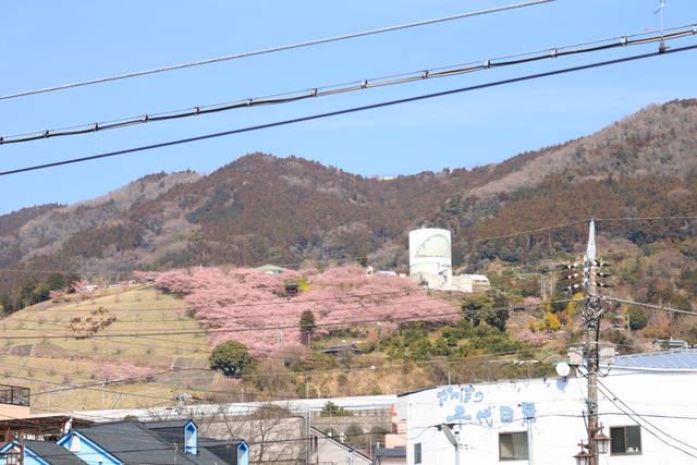 松田駅から一面ピンクが見える西平畑公園