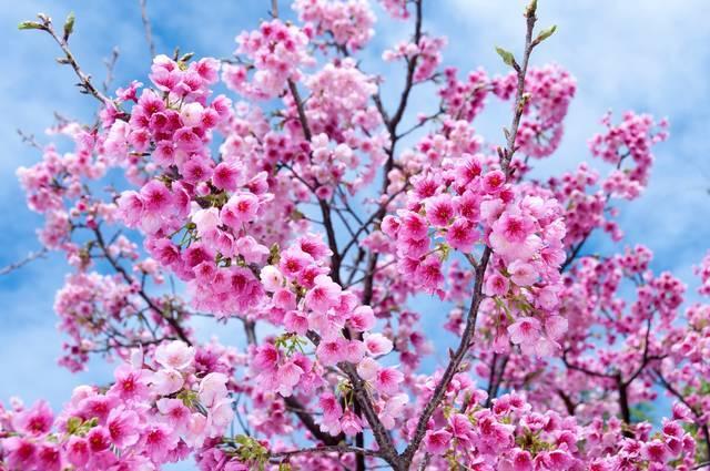 沖縄の寒緋桜(カンヒザクラ)