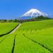 茶畑でお茶摘み体験やスイーツも♪ 静岡県の春の新茶を味わう旅に出よう